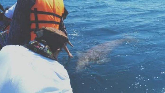 Ikan Dugong muncul menyapa Gubernur NTT Viktor Buntilu Laiskodat dan Bupati Alor Drs. Amon Djobo di perairan Pulau Sika, Jumat (19/7/2019) pagi. (Sumber: Humas Setda Alor).
