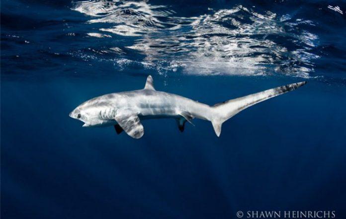 Hiu Tikus yang ditemukan Peneliti Thresher Shark Project Indonesia di Perairan Alor. (Foto: Doc. Thresher Shark Project Indonesia)