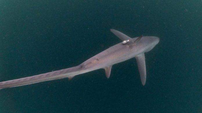Hiu Tikus, ditemukan peneliti Thresher Shark Project Indonesia di Perairan Alor. Populasinya kini terancam punah? (Foto: Doc Thresher Shark Project Indonesia).