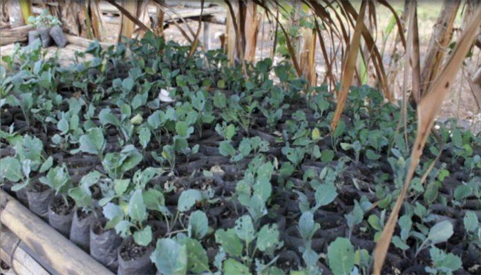 Ribuan tanaman Kol milik petani Zakarias Ahalapada di Likutau terserang hama ulat hijau.